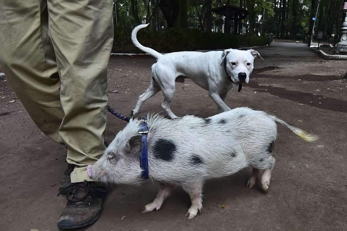 Daniel Munoz walks his pig Gusfredi next to a dog at a park in Mexico City on October 15, 2015. PHOTO: AFP