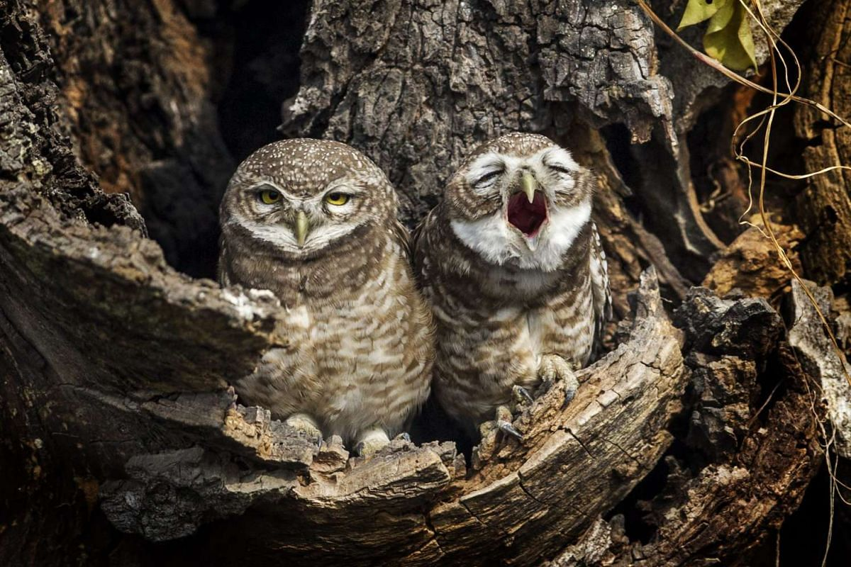 Owls sitting in a hollow nest in Patan, Nepal, on Nov 18, 2015. PHOTO: EPA