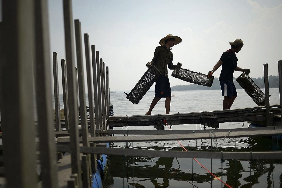 Workers at the Sea Farmers @ Ubin oyster farm taking baskets containing live oysters to the sorting and cleaning area at the start of the day. The oysters are cultivated from spat (baby oysters) imported from Australia.