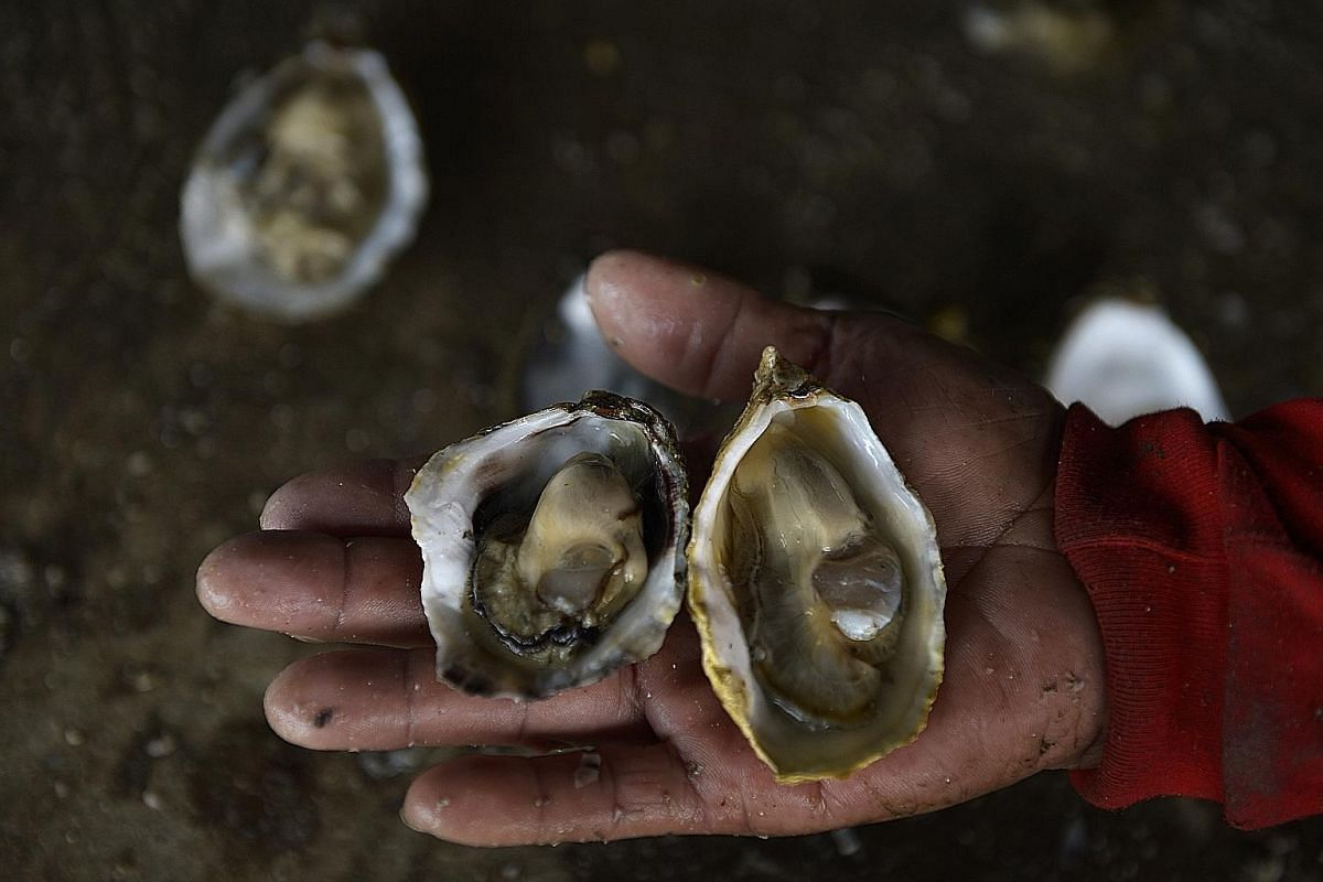 Farm manager Lek Wei Boon, 51, with a locally farmed Pacific oyster (right) and a local rock oyster. Rock oysters may attach themselves to Pacific oysters and have to be scraped off, as the Pacific oysters' growth may be hindered.