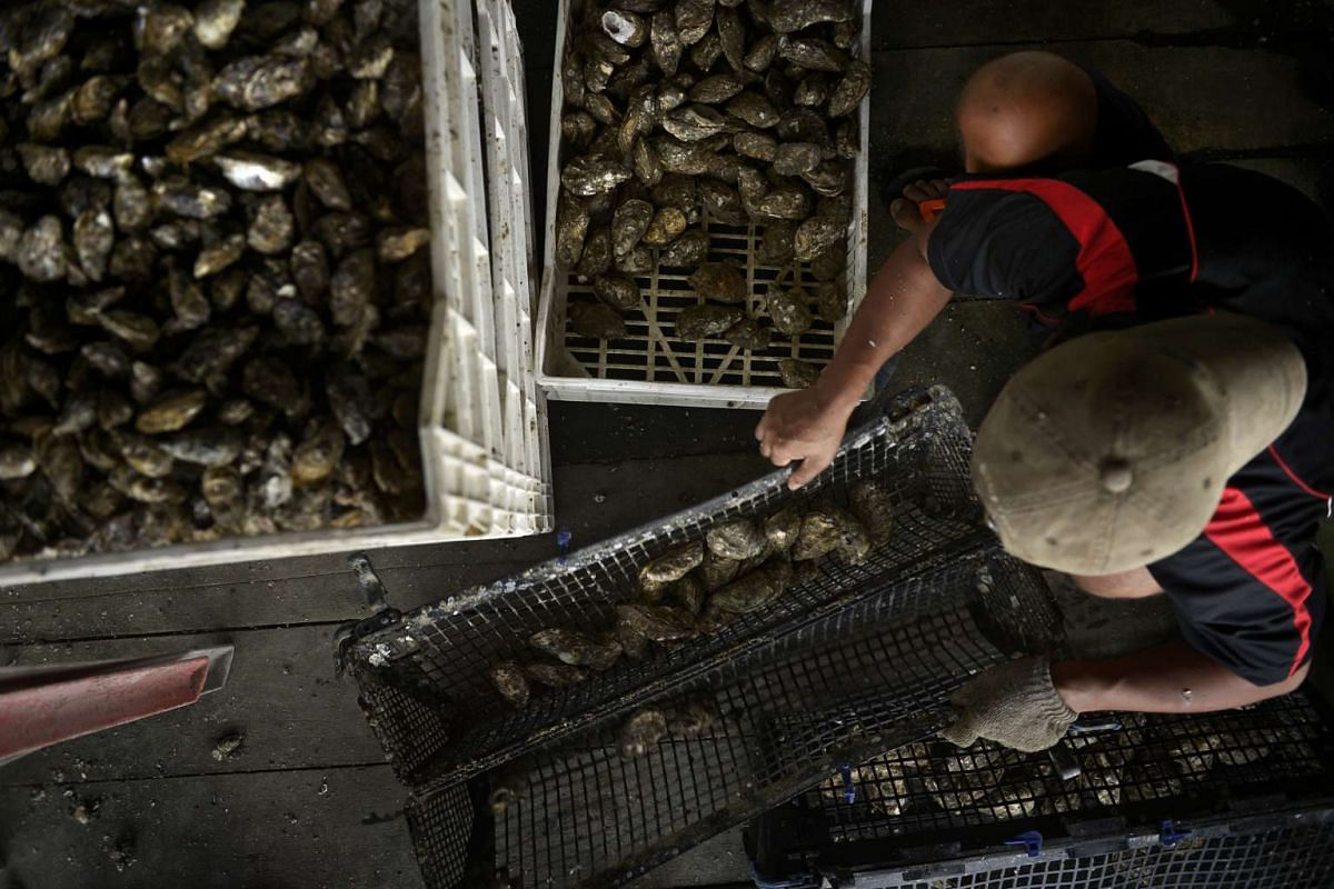 The oysters are sorted according to size after they are cleaned. The Pacific oysters grow faster in warm waters because they can keep feeding without hibernating, unlike in cold waters.