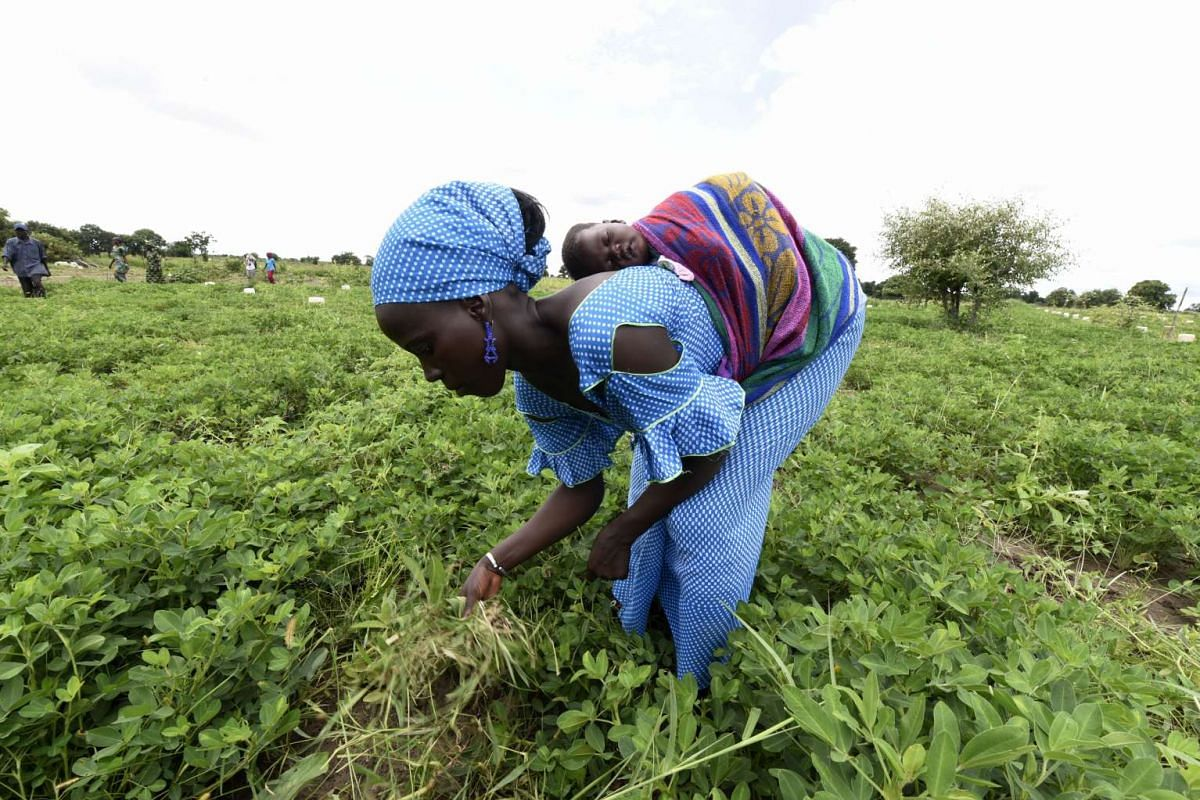 A Senegalese farmer carrying her baby works in a field in Daga Birame on Oct 1, 2015. Since 2013, farmers of Daga Birame take part in a project teaching them farming practices adapted to climate changes and based on research and weather forecasting,