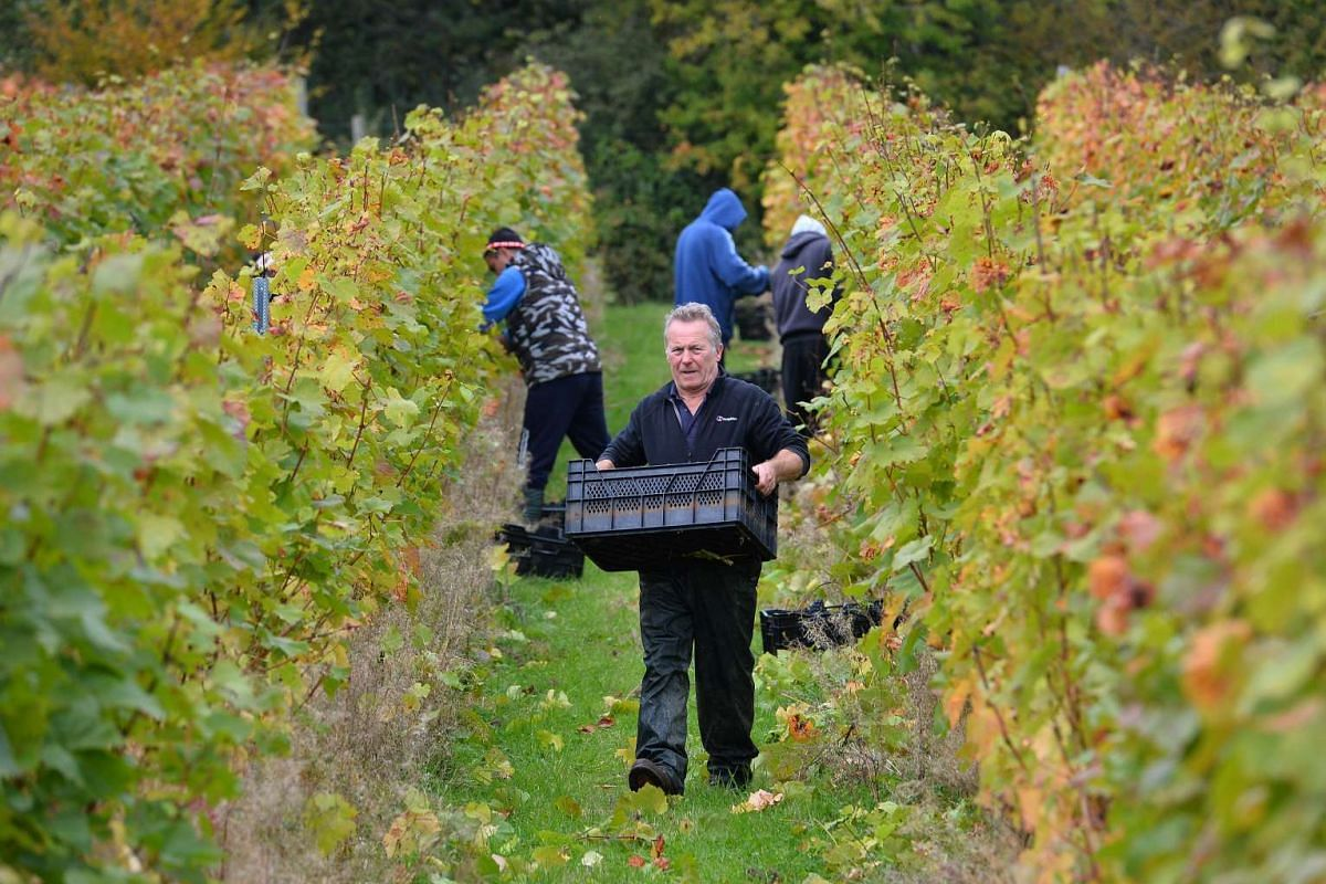 Vineyard Instructor Dave Perrin carries picked grapes at a vineyard near Scaynes Hill, part of the wine department of Plumpton College in East Sussex on Oct 12, 2015.