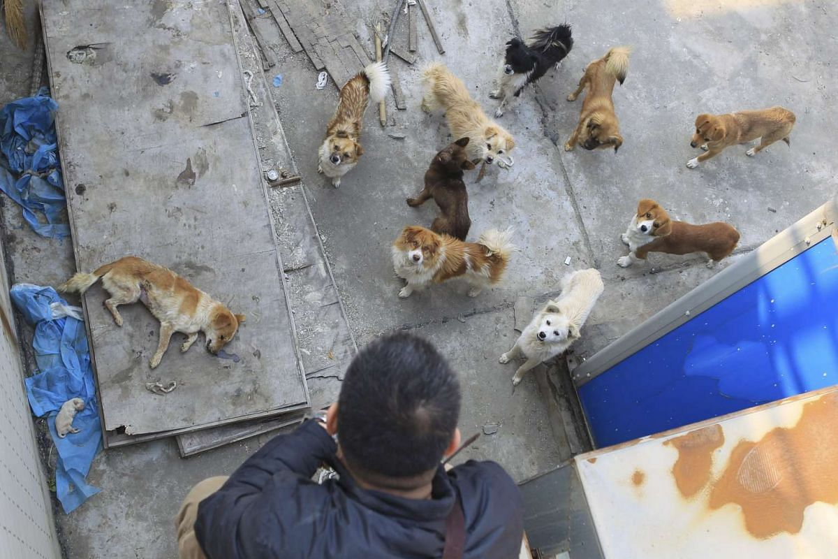 A man looking at dogs on the roof of a medical school - in Xi'an, Shaanxi province - China, after photos of these dogs caused a public outrage on the Internet.