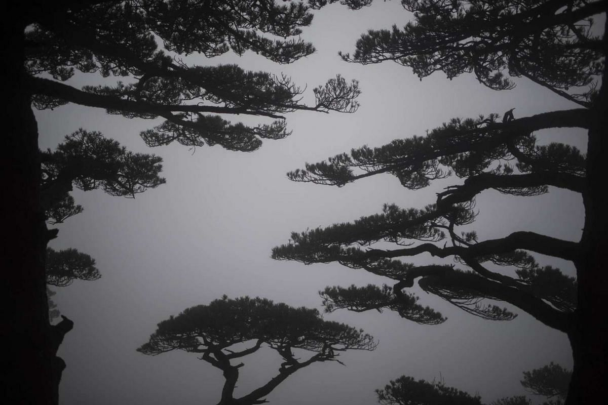 This picture taken on Dec 9, 2015, shows pine trees in the clouds on top of Huangshan, also known as the Yellow Mountain in southern Anhui province.