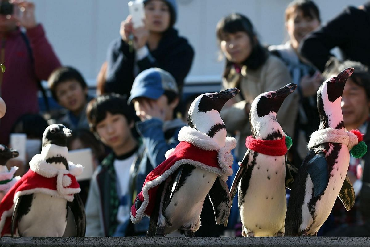 Visitors look on as Cape penguins, also known as African or jackass penguins, dressed in Christmas costumes, paraded around for a Christmas event at the Hakkeijima Sea Paradise in Yokohama on Dec 12, 2015. Christmas activities at the aquarium run unt