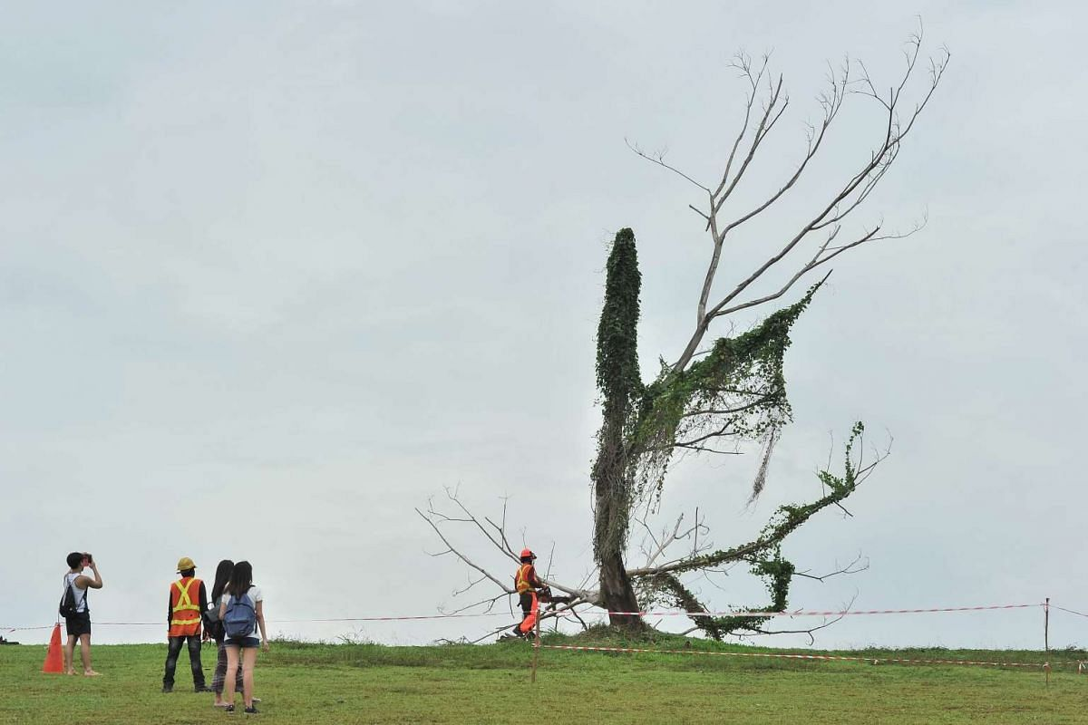 """A few people gathered at Punggol Waterway Park today to say goodbye to the popular tree, dubbed the """"Punggol Lone Tree"""" or #instagramtree, in Singapore, 16 December, 2015. The tree was felled because of public safety concerns. PHOTO: THE STRAITS TIM"""