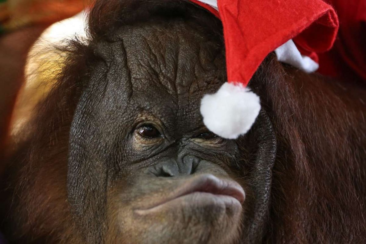 A thirteen-year-old orangutan named 'Pacquiao' reaches for the tip of his Santa Claus hat during the 'Animal Christmas Party' at the Malabon Zoo, Philippines on Dec 21, 2015.