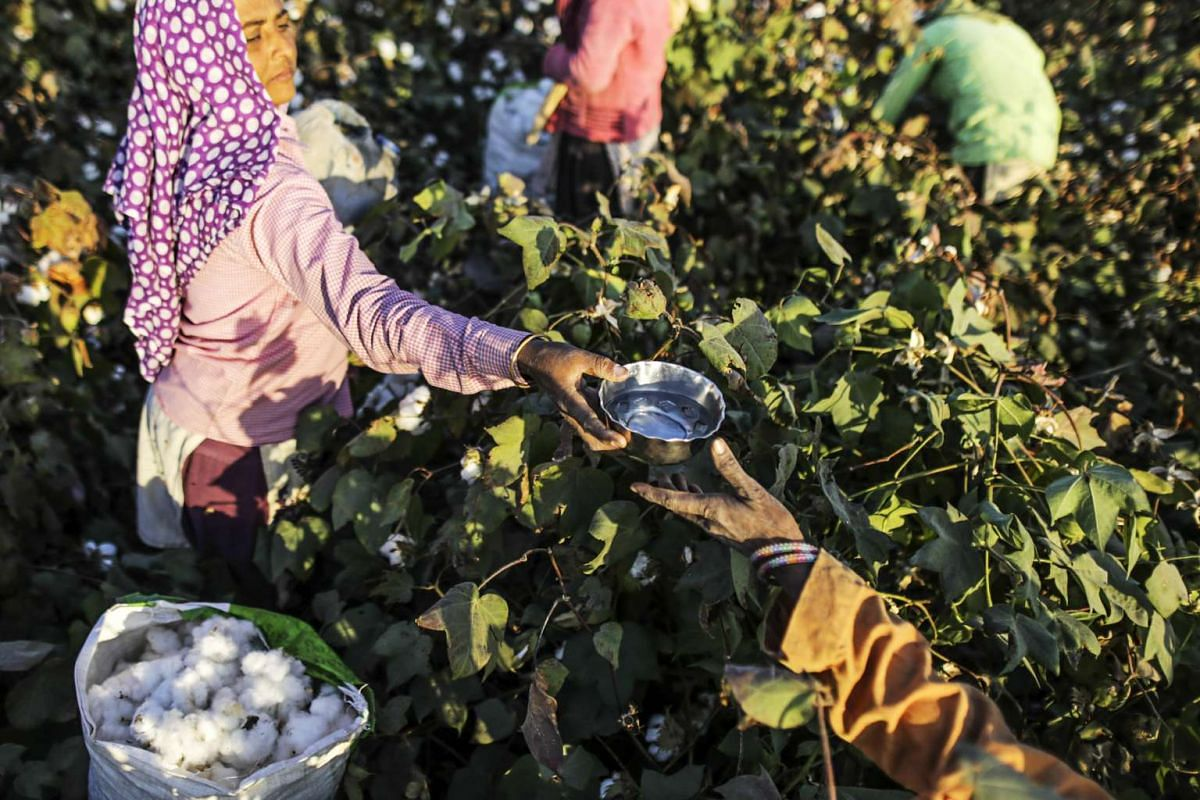A worker passes a bowl of water to a colleague as they hand-pick cotton in a field in Wankaner, Gujarat, India, Dec 15, 2015.