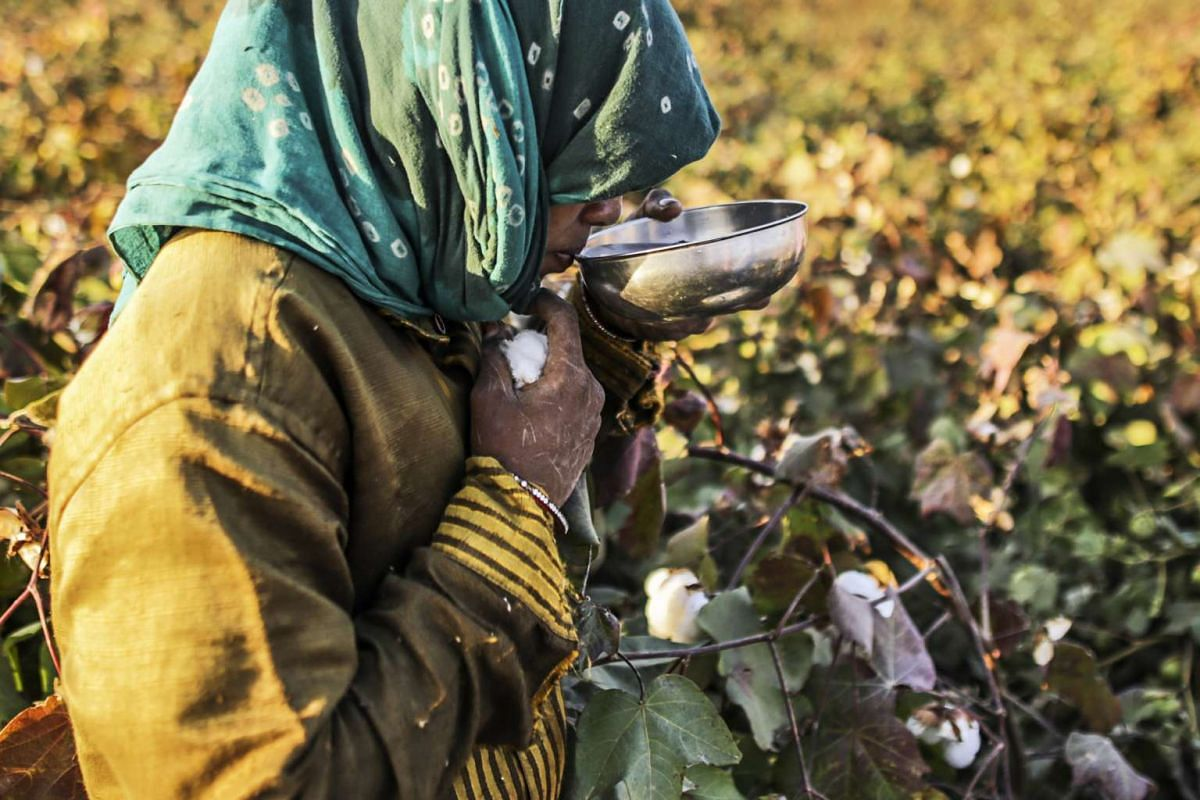 A worker drinks water from a bowl as she hand-picks cotton in a field in Wankaner, Gujarat, India, Dec 15, 2015.