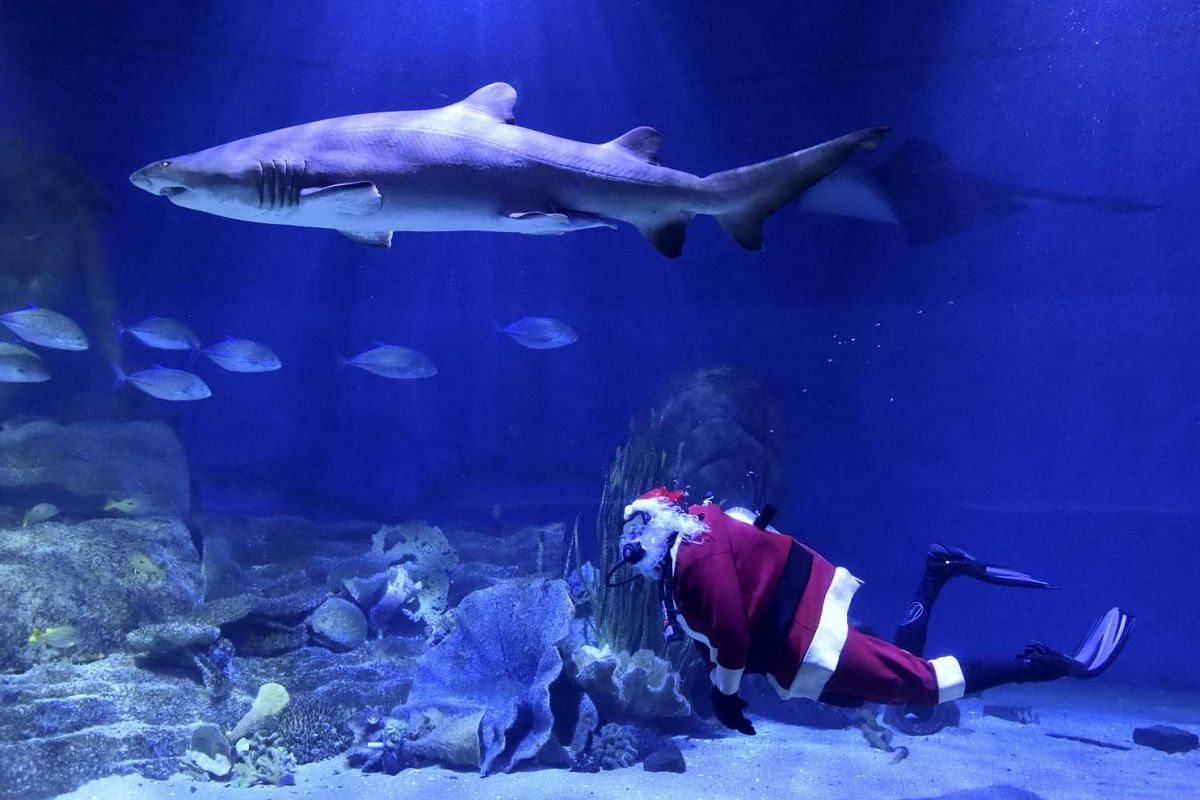 A diver dressed as Santa Claus swims with sharks at Sea Life Melbourne Aquarium on Dec 22, 2015.