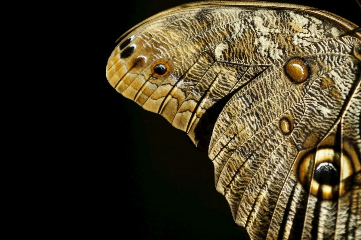The wing of a giant owl butterfly at the San Diego Zoo Safari Park in San Diego, California, United States on March 13, 2015.