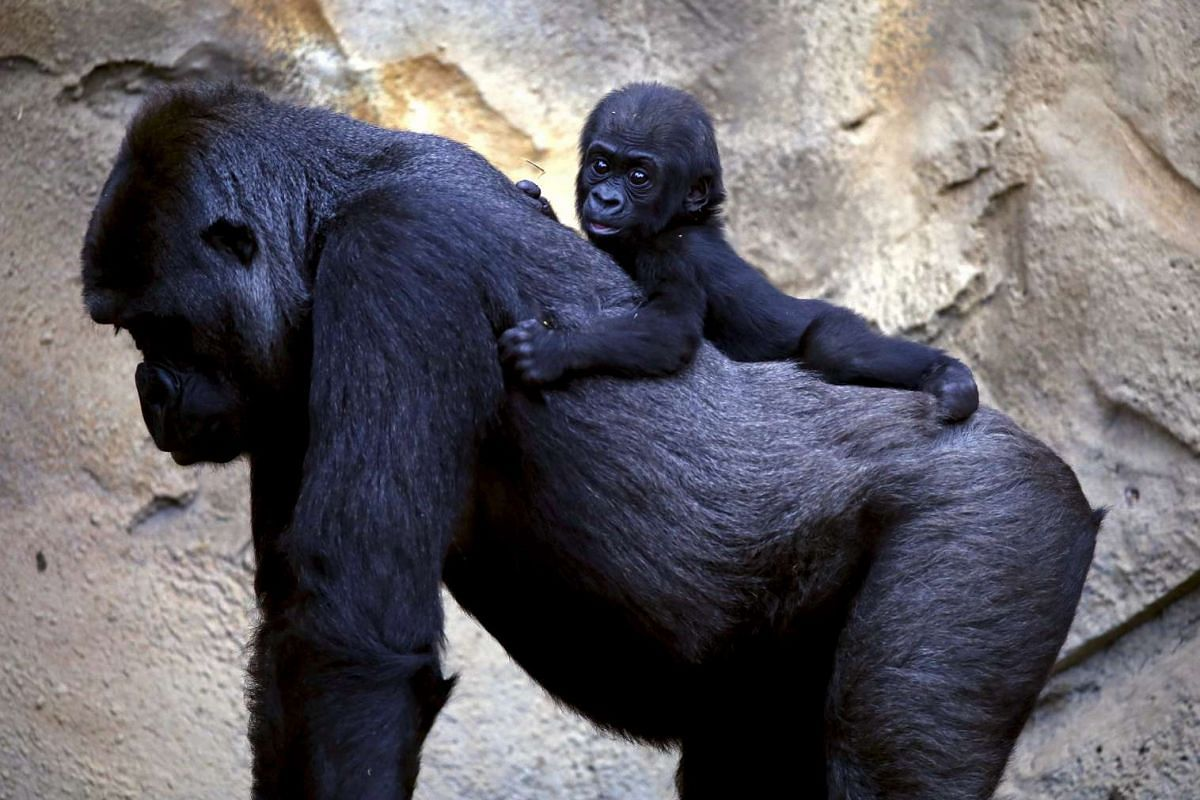 A western lowland gorilla baby named Mjukuu riding on the back of its mother Mbeli in their enclosure at Taronga Zoo in Sydney, Australia, on May 19, 2015.