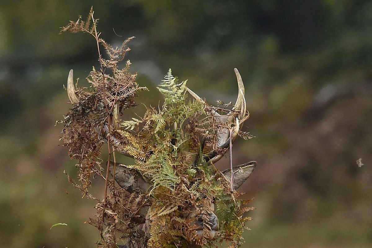 A stag deer covering its antlers with bracken in Richmond Park in west London, Britain, on Oct 16, 2015.