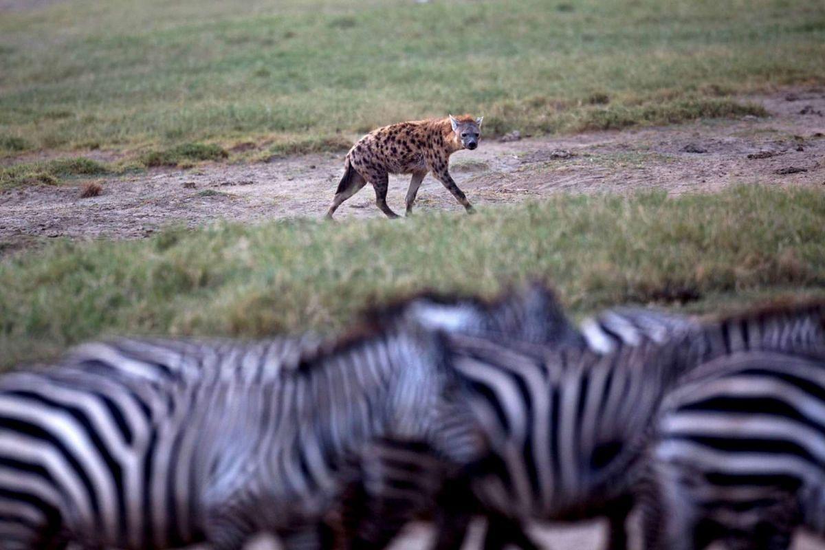 A hyena eyeing a herd of zebra at Lake Nakuru National Park, Kenya, on Aug 19, 2015.