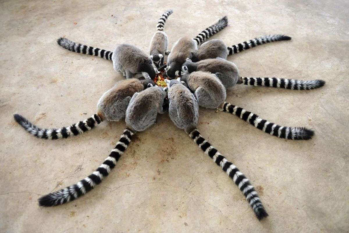 Lemurs eating at Qingdao Forest Wildlife World in Qingdao, Shandong province, China,  on Jan 27, 2015.