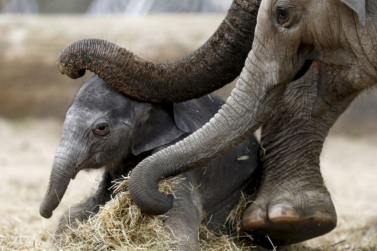 A newborn Asian elephant is helped by its mother Farina to stand up at Pairi Daiza wildlife park in Brugelette, Belgium, on May 25, 2015.