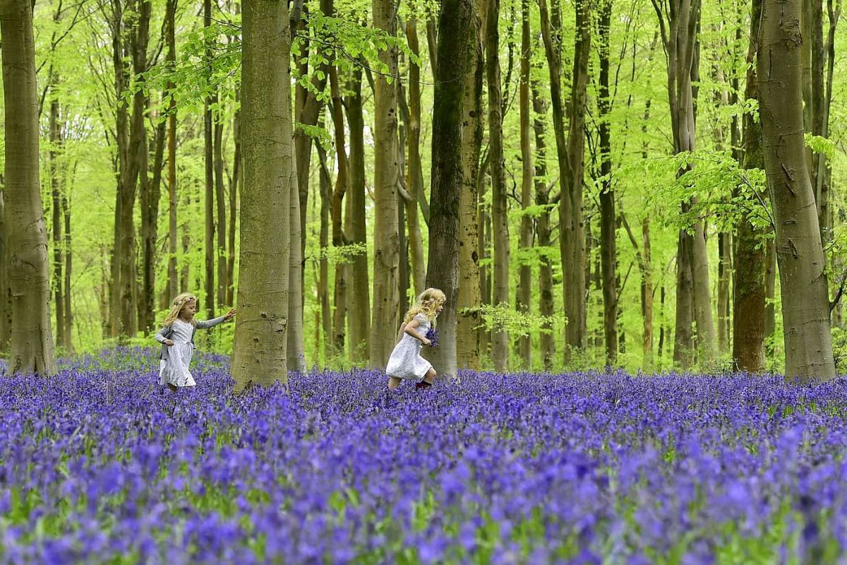 Girls running through a forest covered in bluebells near Marlborough in southern England on May 4, 2015.