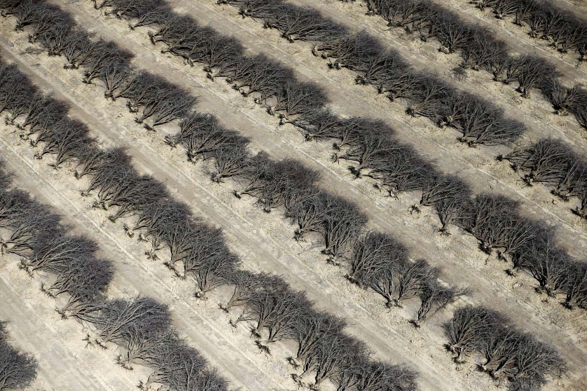 A field of dead almond trees is seen in Coalinga in the Central Valley, California, United States, on May 6, 2015.
