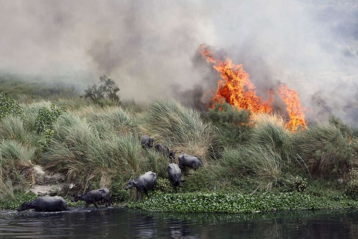 Buffalos escaping a fire, which is spreading on a patch of land by the Yamuna river, on a hot summer day in New Delhi, India, on June 9, 2015.