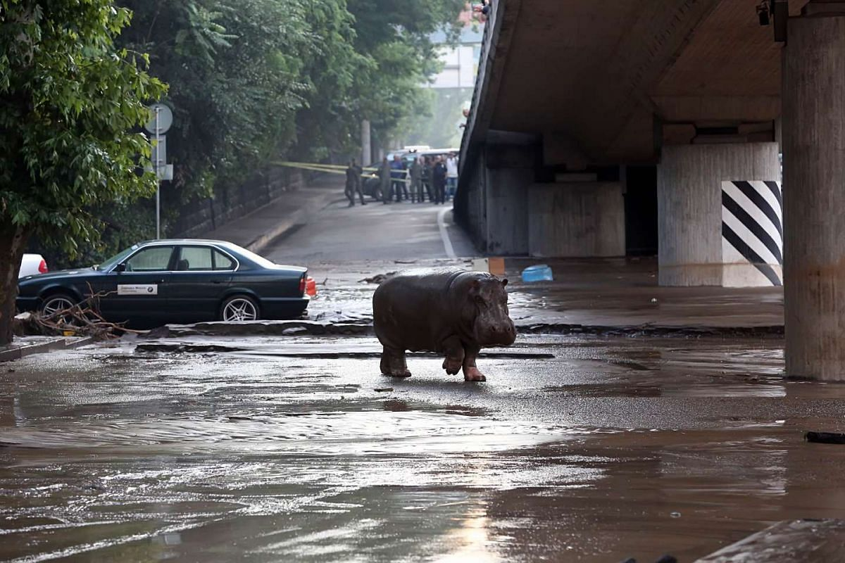 A hippopotamus walking across a flooded street in Tbilisi on June 14, 2015.