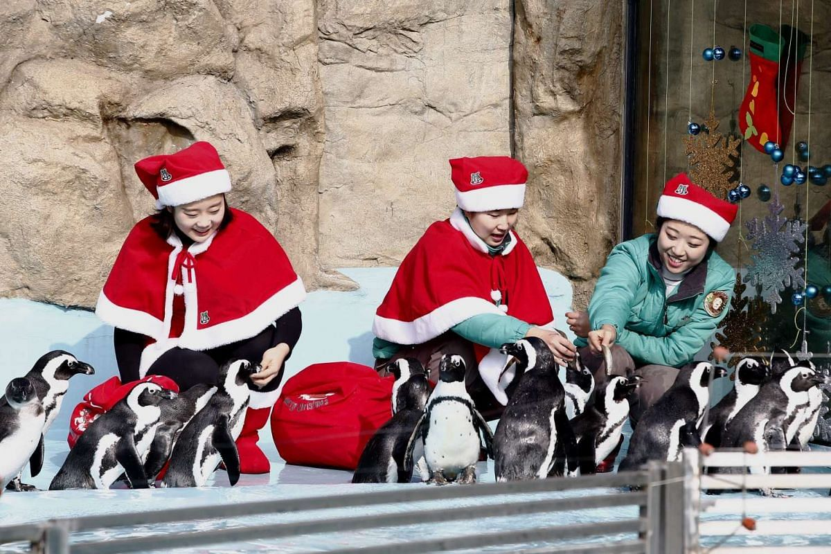 South Korean Everland amusement park employees feed penguins while wearing Santa hats.