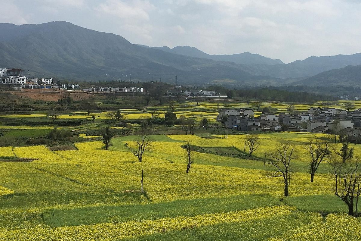 Elegant Huizhou-style white-washed houses line Nanhu Lake in Hongcun village. Autumn colours in Shi Cheng village in Wuyuan. Fields of yellow rapeseed flowers surround the villages in spring.