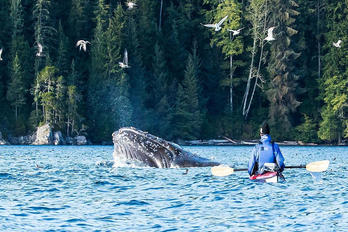 Left: The group taking a breather during one of their kayaking trips. Above: The tour group camping on one of the many uninhabited islets off northern Vancouver Island. Left: Martin Fletcher watching a humpback whale in Blackfish Sound. Above: An exp