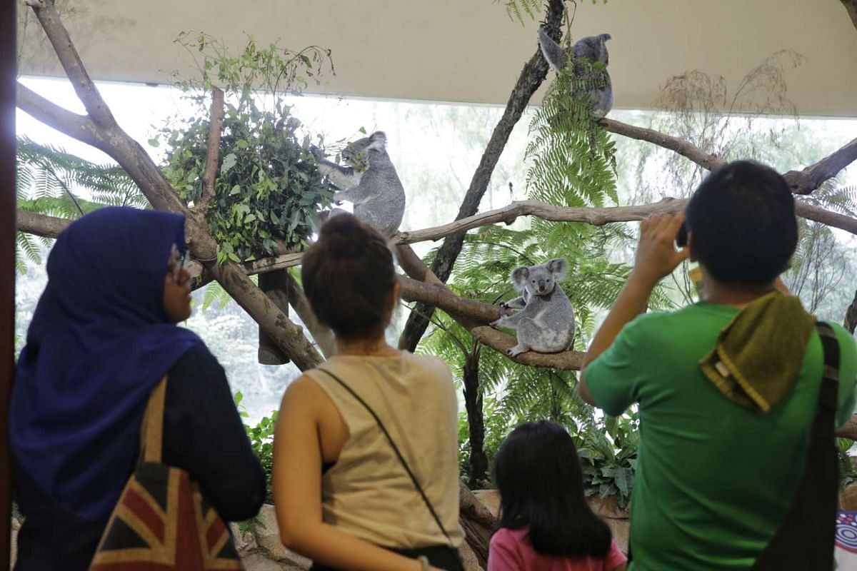 Visitors at Singapore Zoo taking pictures of the koalas in their enclosure for the last time in the Singapore on Jan 3, 2016 before they return to Australia.
