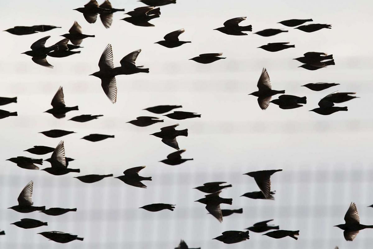 Migrating starlings flying near the Israeli southern city of Beer Sheva on Dec 28, 2015.
