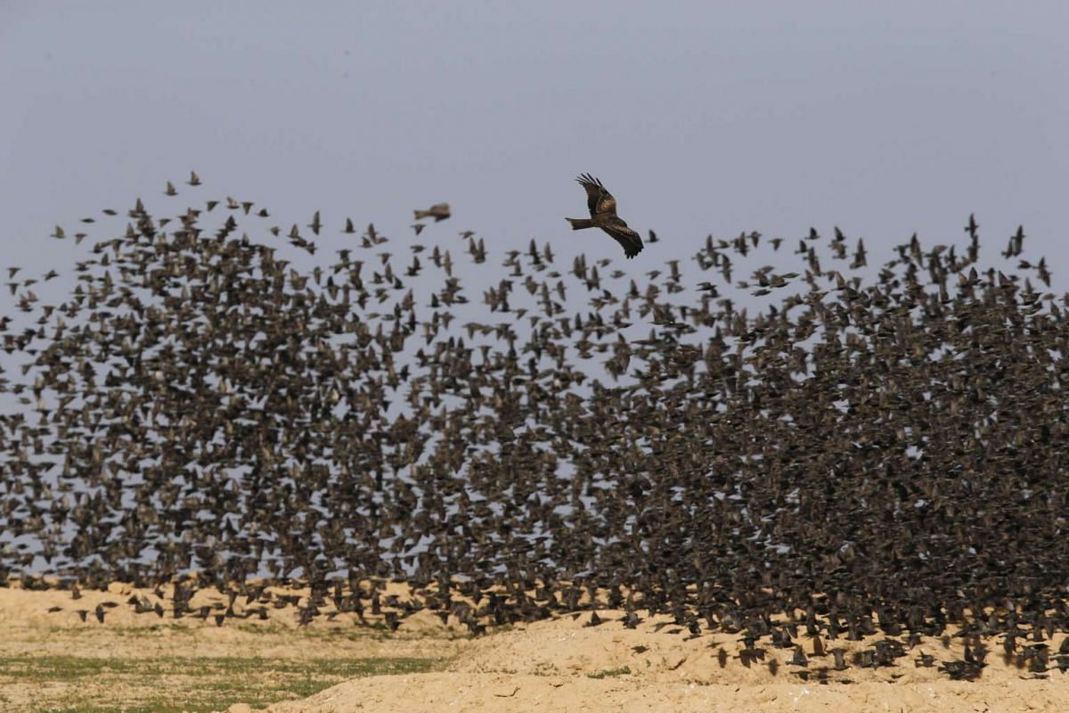 A Black Kite flying near migrating starlings in southern Israel on Dec 28, 2015.