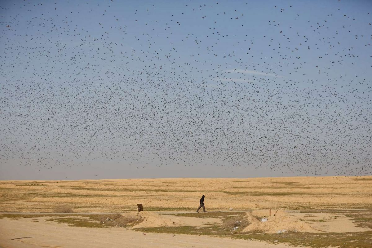 A man walks below a flock of migrating starlings near the southern Israeli city of Beer Sheva on Dec 28, 2015.