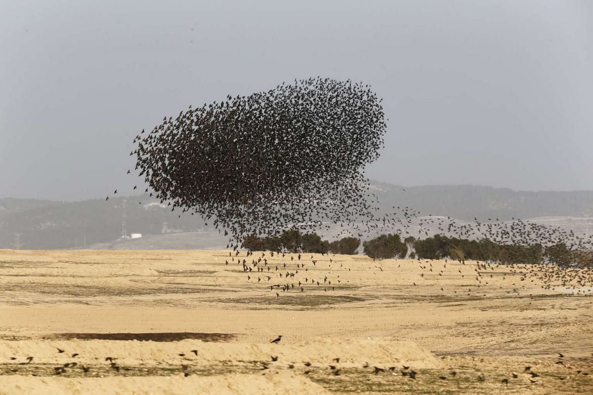 A flock of migrating starlings fly in a ball formation over the city of Beer Sheva in southern Israel on Dec 28, 2015.