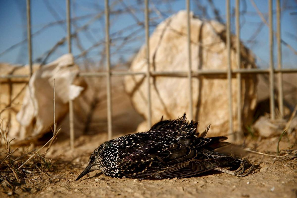 A dead migrating starling lies near a fence close to the southern Israeli city of Beer Sheva on Dec 29, 2015.