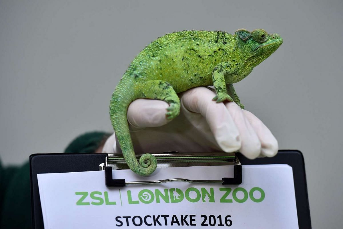 A zookeeper posing with a Jackson's Chameleon at the London Zoo on Jan 4, 2016.