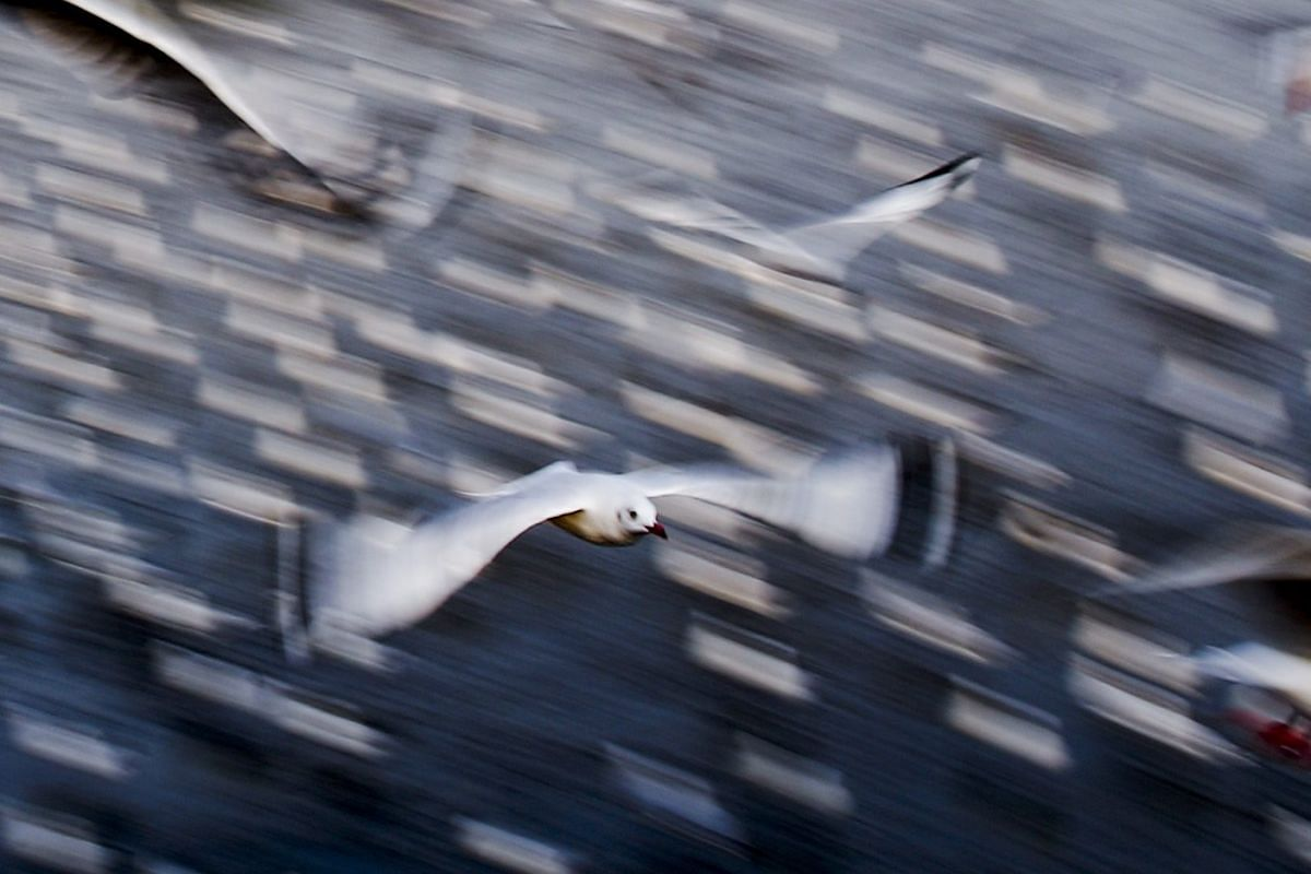 Seagulls flying over Samut Prakan province on the outskirts of Bangkok, Thailand on Jan 3, 2016, as they migrate from their home in Siberia to escape the harsh winter.