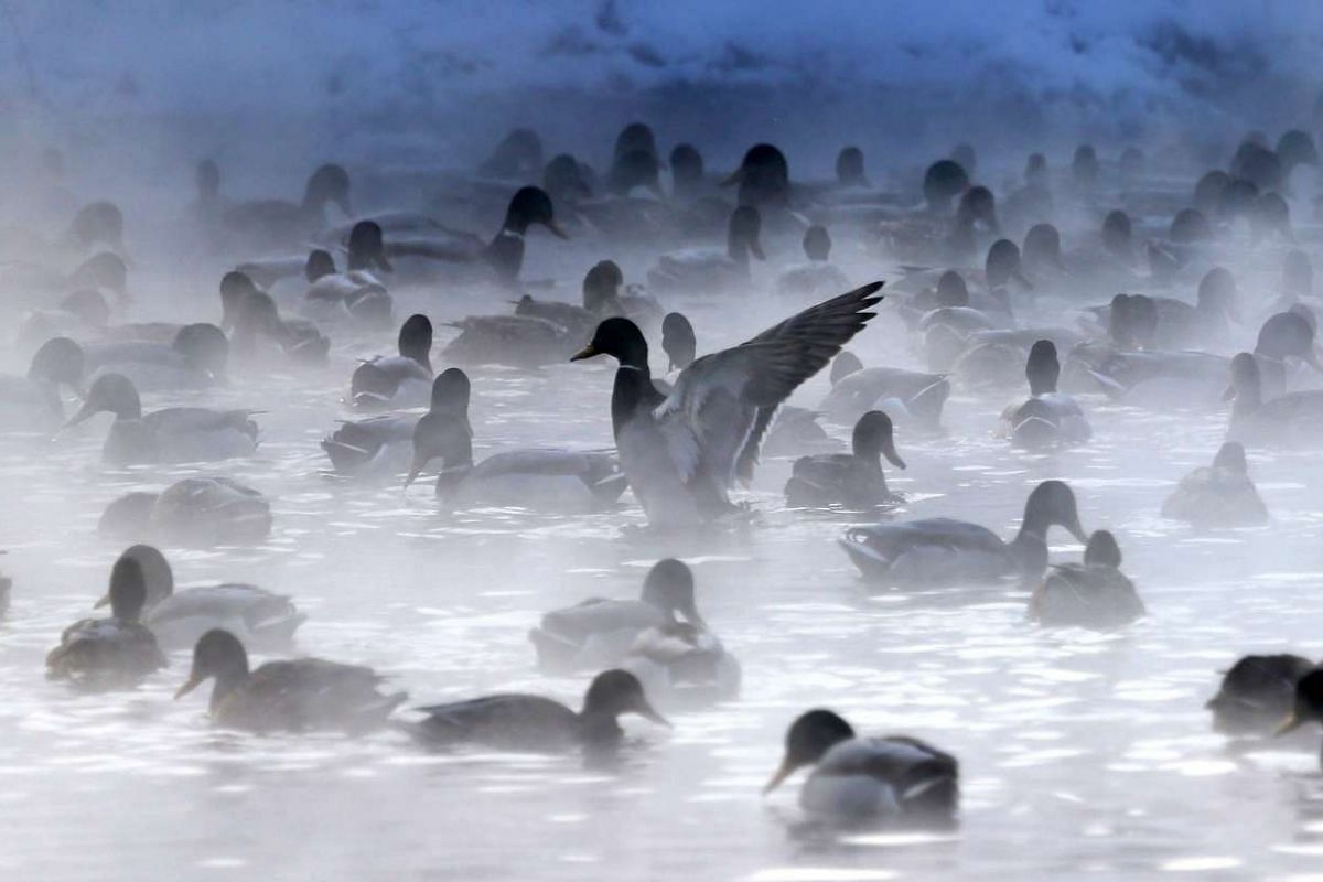 Ducks floating in a steaming pond on the outskirts of Minsk, Belarus, as temperatures drop to minus 15 deg C on Jan 5, 2016.