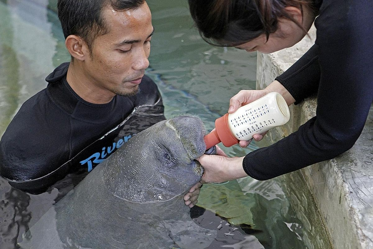 This manatee named Willy was born on Oct 7. It is being hand reared after being abandoned by its mother, which was unable to take care of it. It is housed in shallow waters for now until it gets bigger. The name was voted on by staff out of a list that in