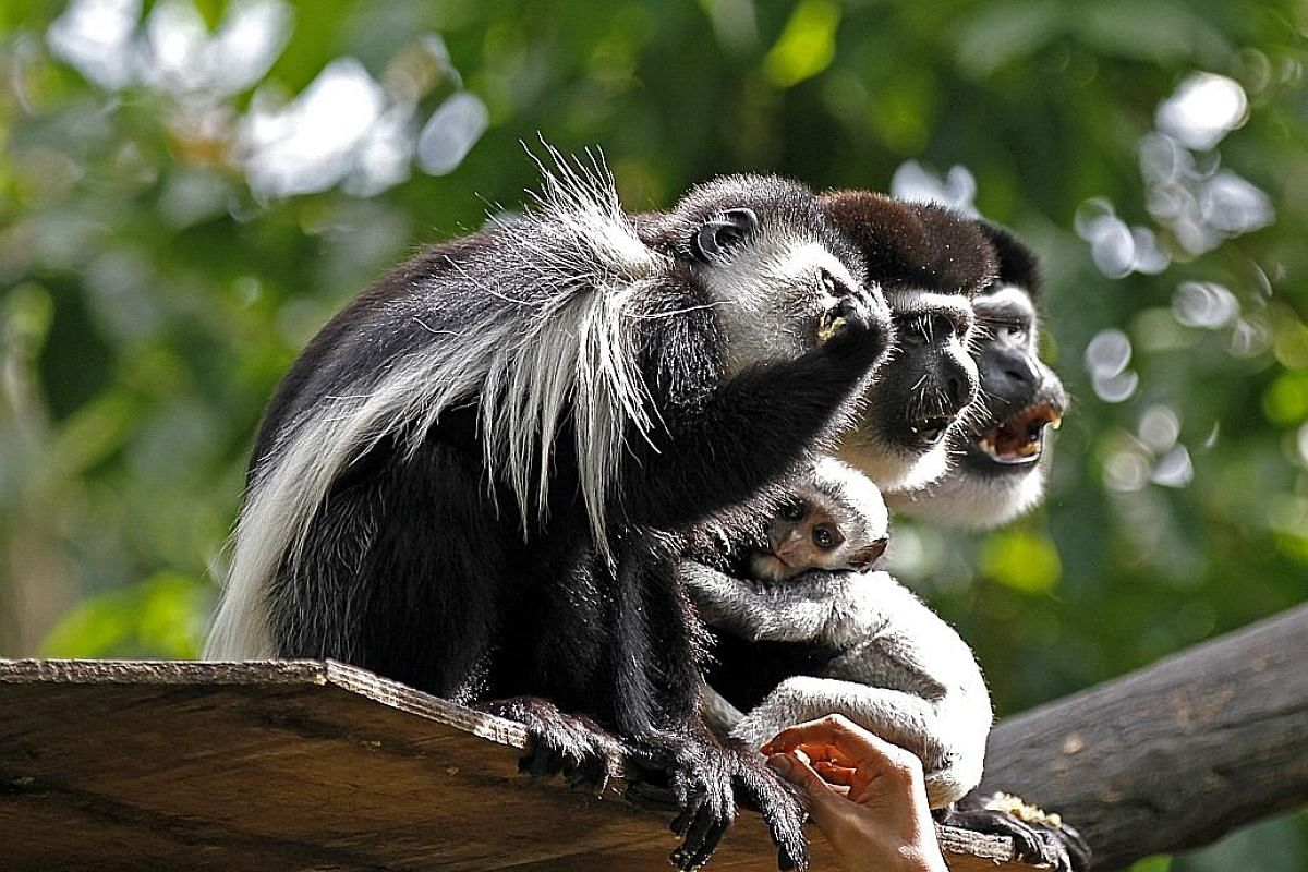 This Eastern Black And White Colobus monkey was born on Nov 9, a couple of months shy of the Chinese Year of the Monkey. It is the youngest of the zoo's babies born last year and, for now, does not stray far from its mother.