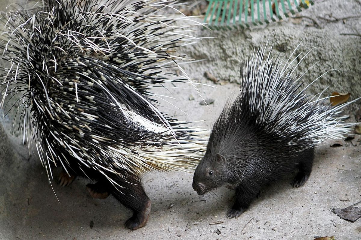 """This baby Indian Crested Porcupine was born on Nov 9 and has not been given a name. It is the first female of the """"new"""" baby batches in the last two years."""