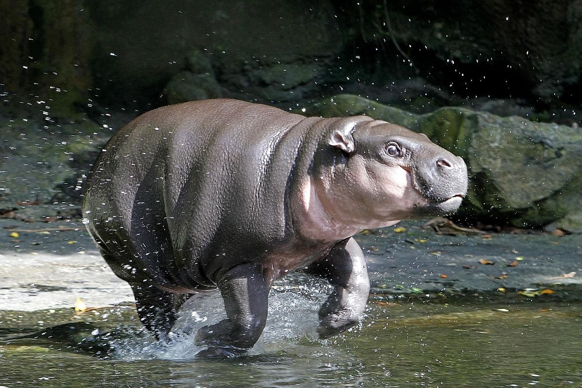 The Pygmy Hippo is, as its name suggests, much smaller than the more commonly known hippopotamus. This female is known as Ayana and is the oldest of last year's zoo babies. It was born in April.