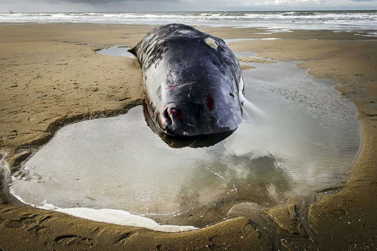 The body of a stranded sperm whale lies on a beach on the island of Texel, the Netherlands, on Jan 13, 2016.