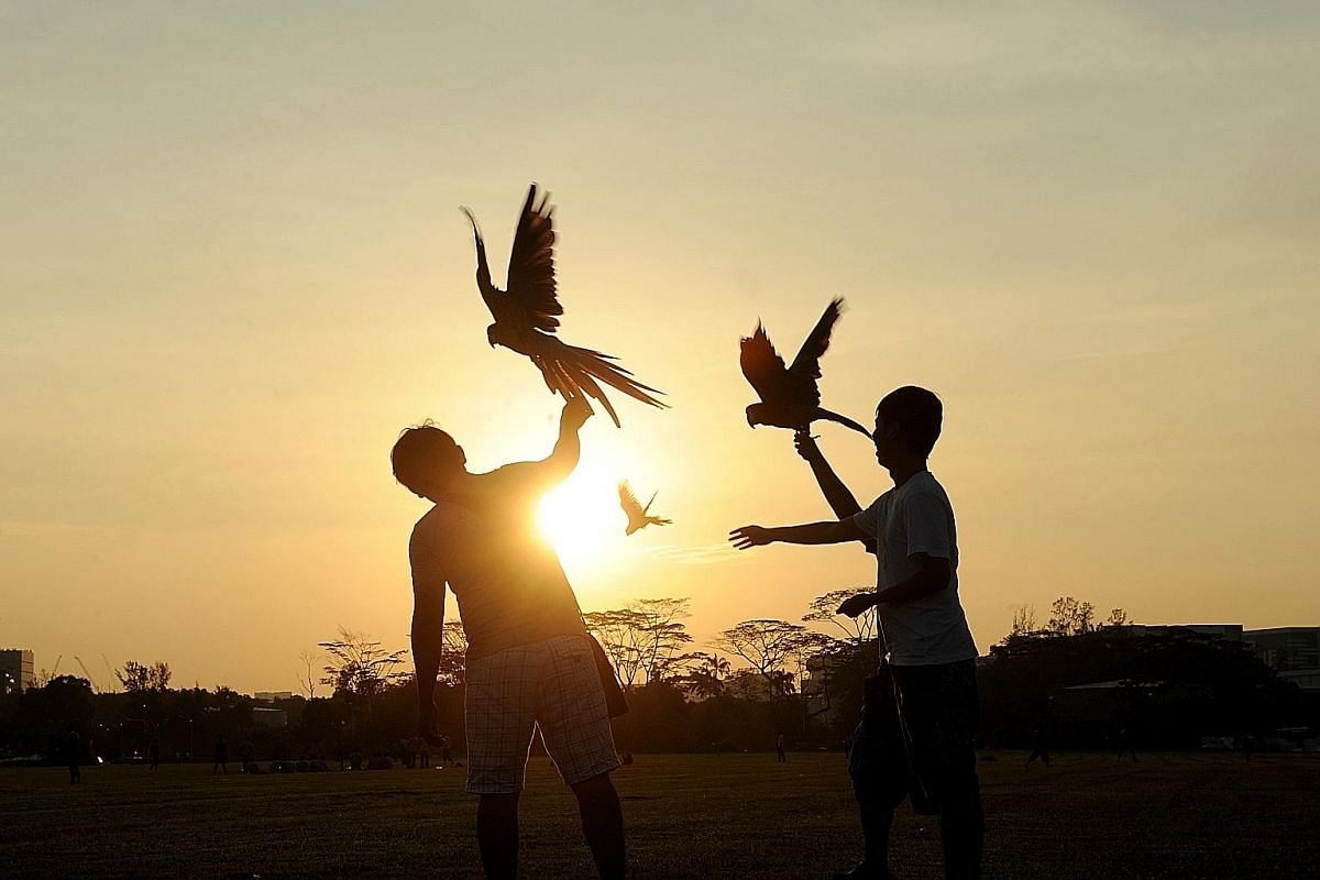 Above: Parrot owners free-flying their birds in an open field. It takes a parrot an average of four lessons, with each lasting 16 to 19 minutes, to learn tricks, including free-flying. Right: Realtor Mr Tan with his two hyacinth macaws. He declined t