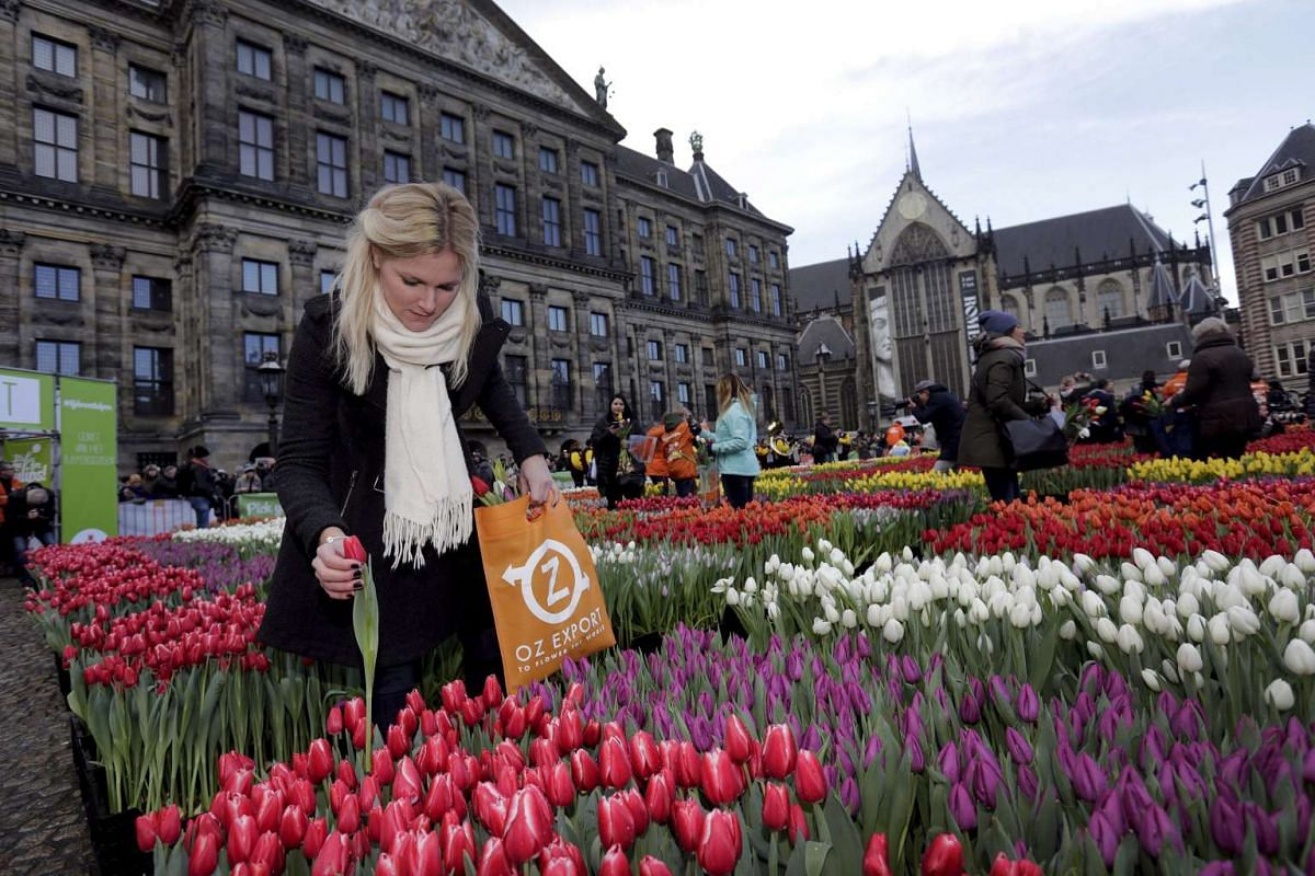 A woman picking tulips that were placed in front of the Royal Palace at the Dam Square on Jan 16, 2016.