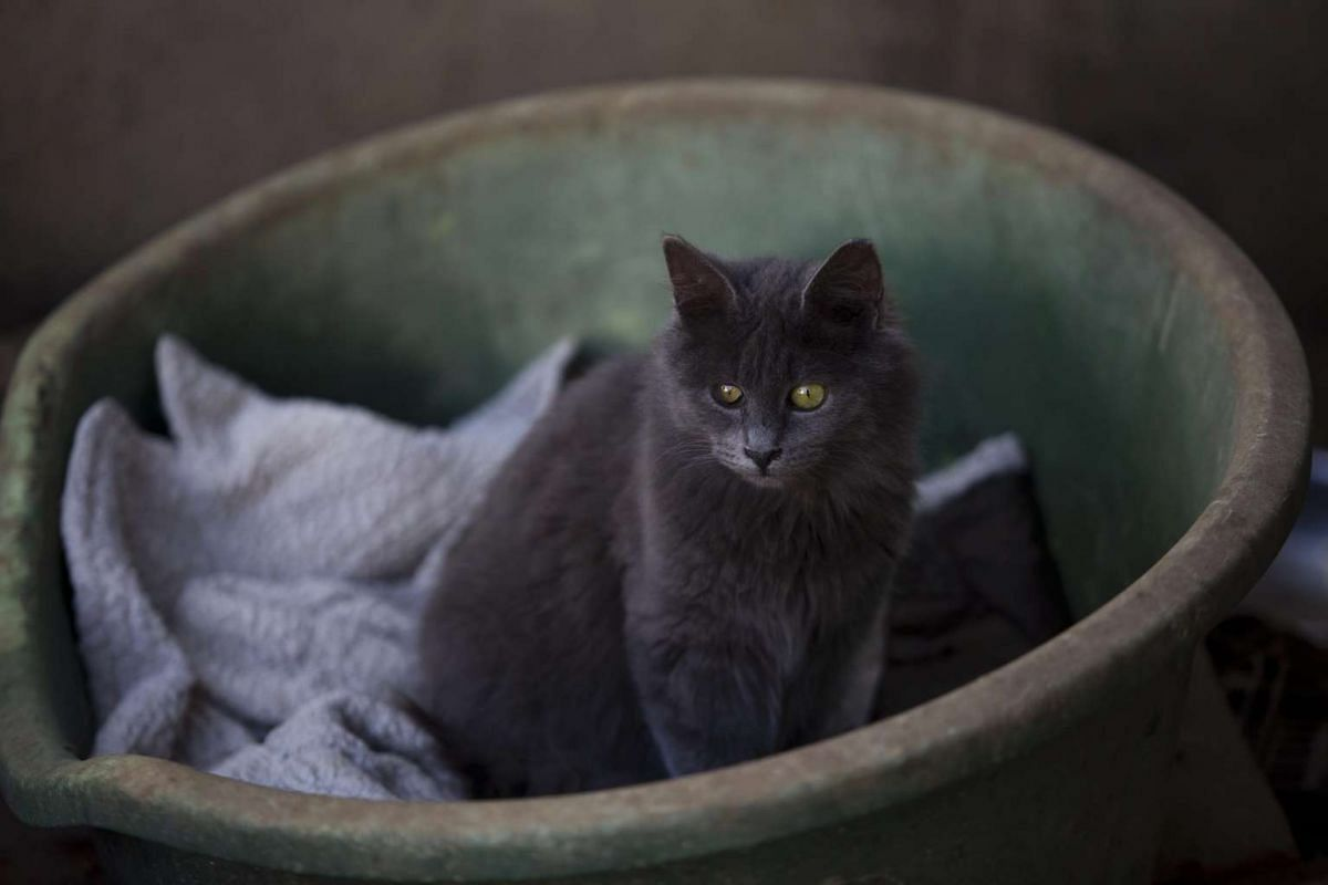 A street cat rests in the shelter house for feral cats at the SPCA in Jerusalem, Israel.
