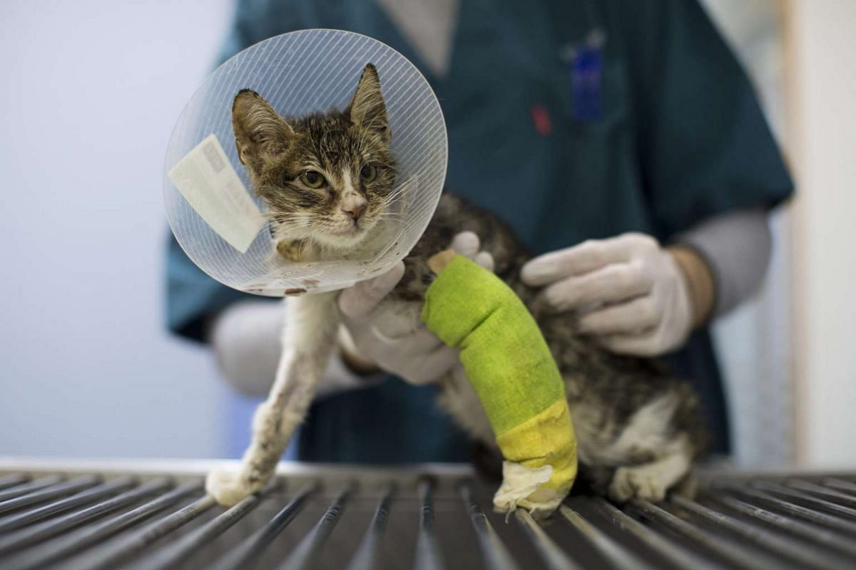 A young stray cat recovering from a car accident is treated at the Yuval Samuel veterinary clinic in Tel Aviv, Israel.