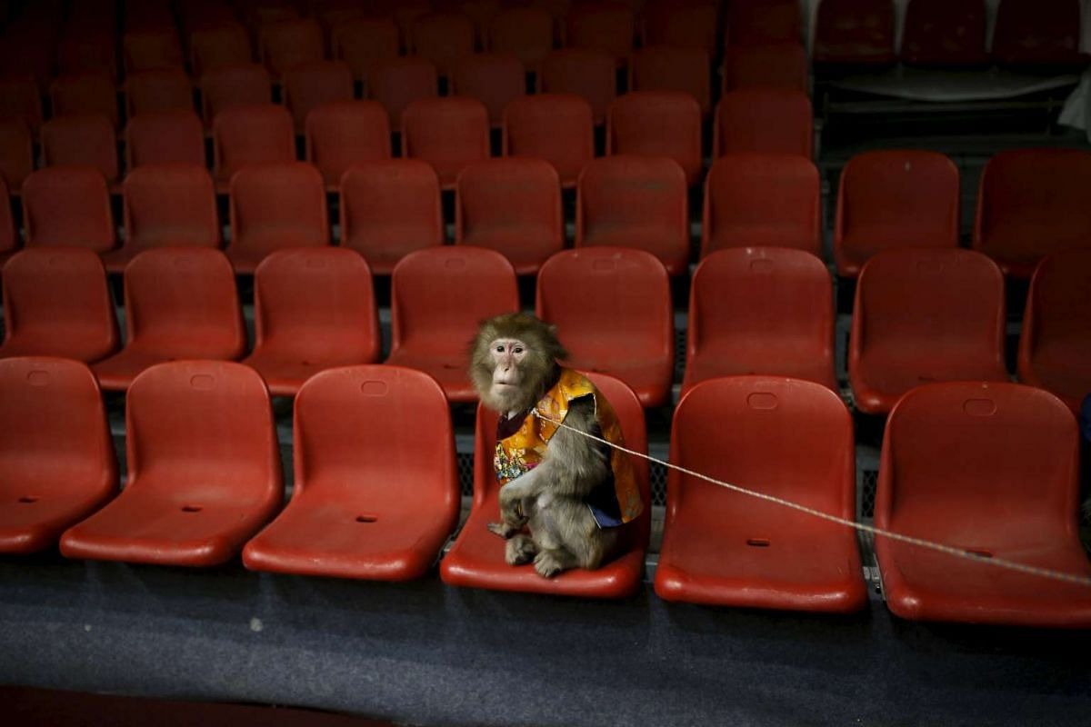 A trained monkey wearing a Korean traditional costume waits to be photographed with kindergarten students after a performance at Monkey School, in Goyang, South Korea, Jan 22, 2016. PHOTO: REUTERS