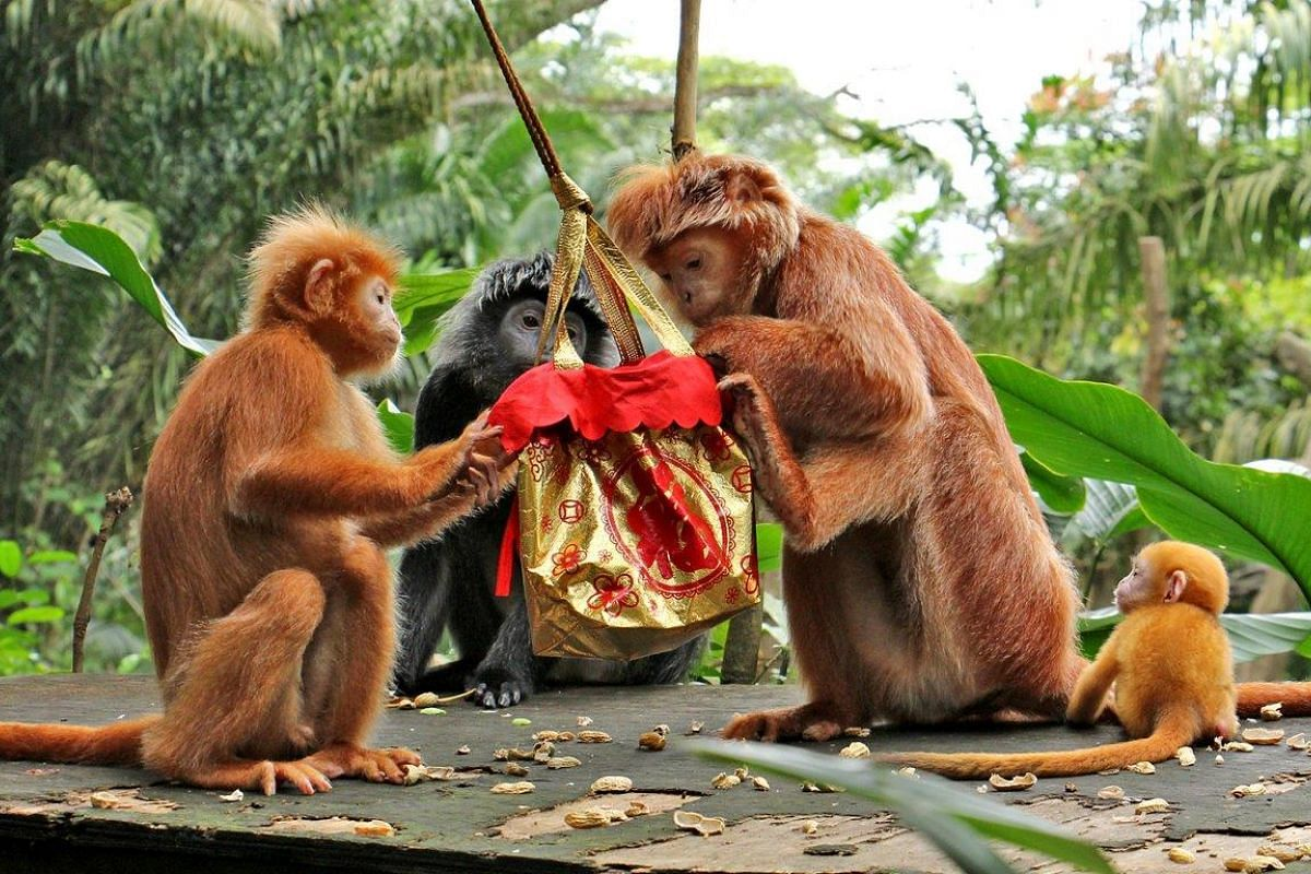 What's in the bag? These Javan langurs dig into food treats in their bag.