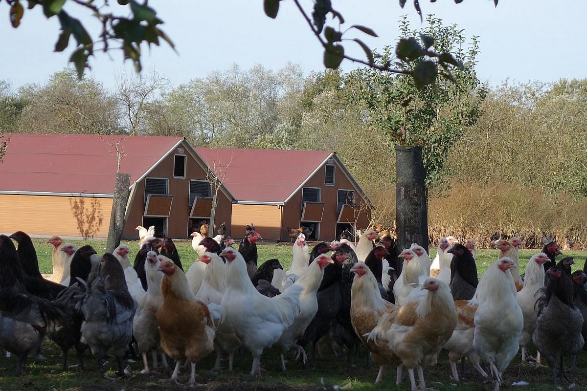 The family-run La Ferme de Vertessec rears free-range chickens that are tender and robust in flavour. There are three guest rooms in the chateau - a Louis XVI suite with a floral theme, a room decorated chinoiserie style (left) and the Daisy Room. Me