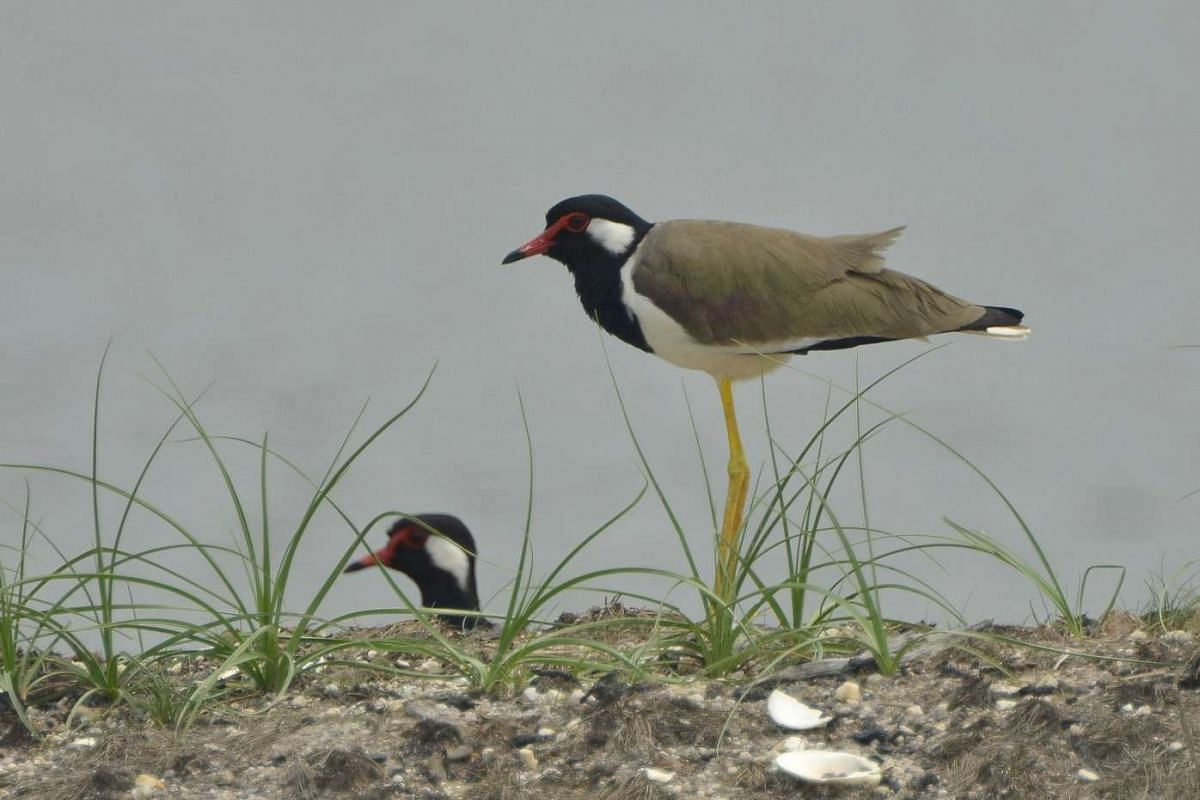 Signature bird species: Red-wattled Lapwing.